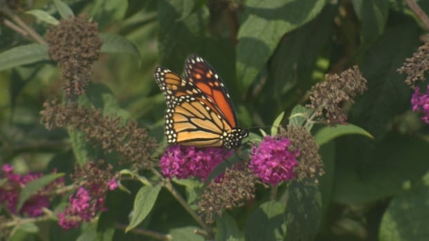 A monarch butterfly feasts on nectar near Toronto's Woodbine Beach, fuelling up for a 4,000 kilometre trek to Mexico for the winter.