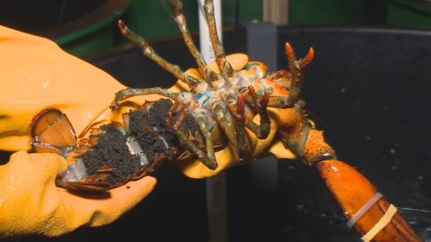 Research scientists are studying how changes in water temperature, ocean acidification and diet affect the eggs and offspring of lobsters.
