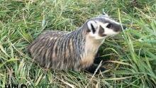 Wild north badger