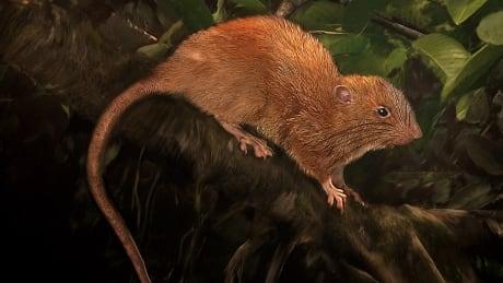 New giant rat Solomon Islands