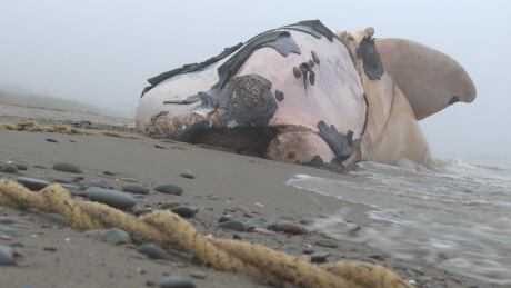 7 right whales entangled this summer, new data shows