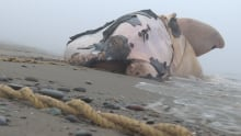 North Atlantic right whale entanglements