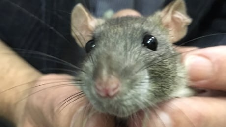 A bargain on rats: SPCA in Moncton seeks good homes for rodents