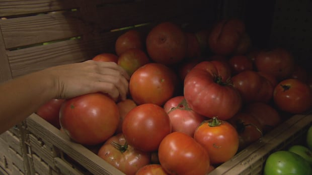 Tomatoes were grown at Our Food Southeast New Brunswick's spaghetti sauce garden.