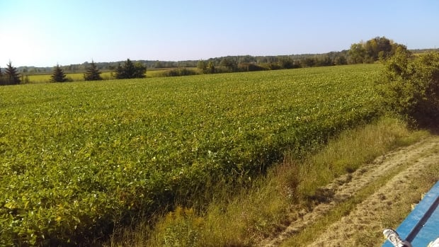 soybean field ferme anse au sable hot weather