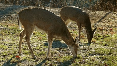 Deer getting tangled in yards on swings, hammocks and plant cages