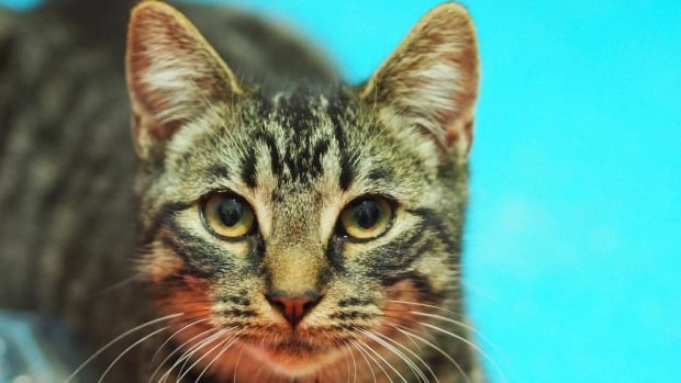 Twenty-one cats, including this one, were taken in by CARMA Fredericton after their Sussex home burned down.