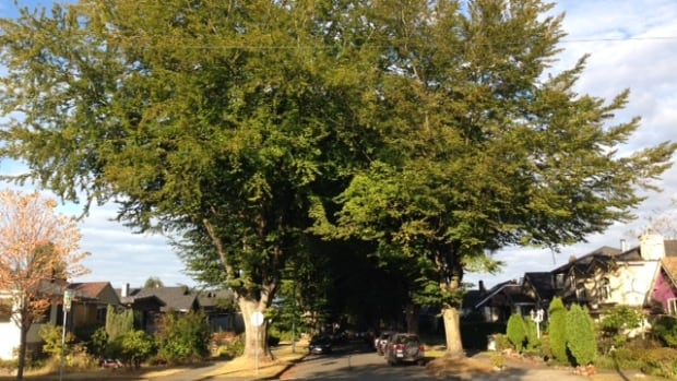 A street in Vancouver's Grandview Woodlands neighbourhood where trees dwarf the houses.