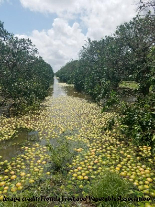 Damage to orange groves