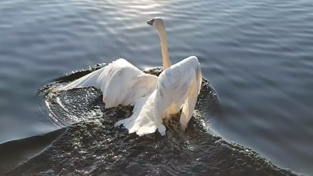 Rob Fenwick said he chased the injured swan almost the length of the lake before he was able to pull it onto his boat.