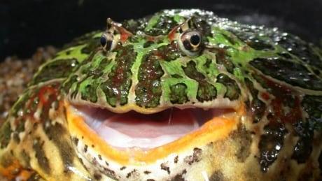 horned-frog