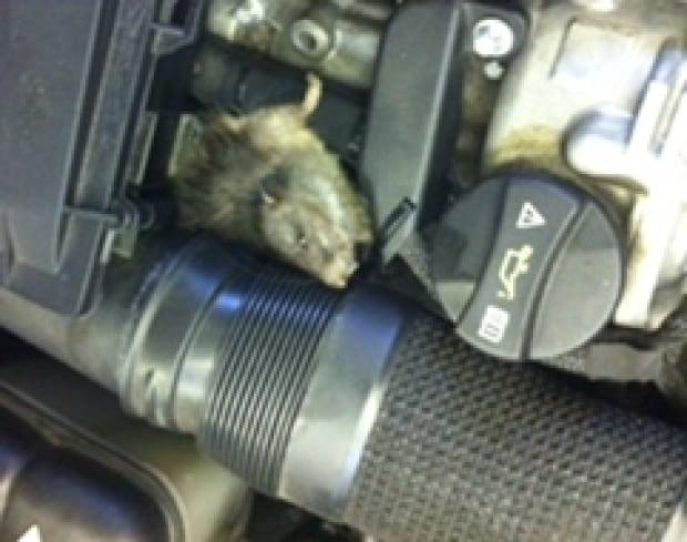 rat damaged car