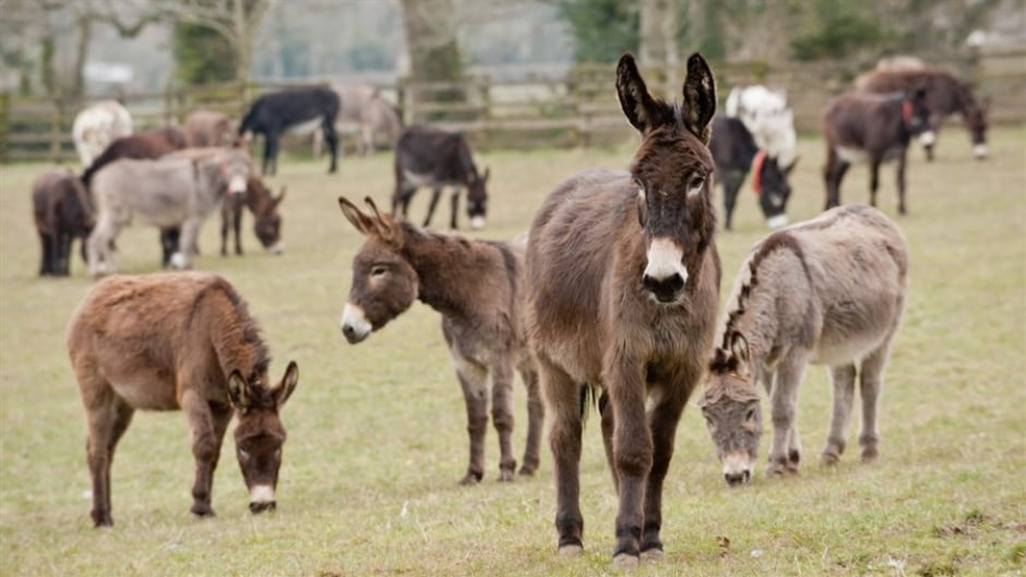 The documentary Do Donkeys Act shows a world inside donkey sanctuaries from the animal's point of view.