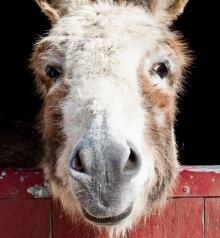 Do Donkeys Act