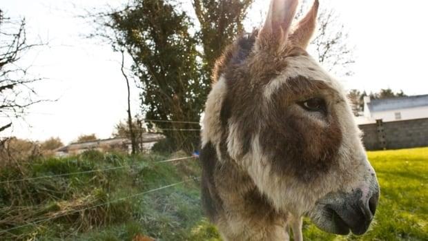 Do Donkey's Act?