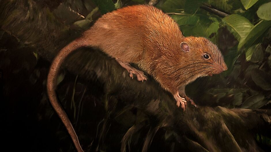 Illustration of the newly discovered giant rat from the Solomon island of Vangunu