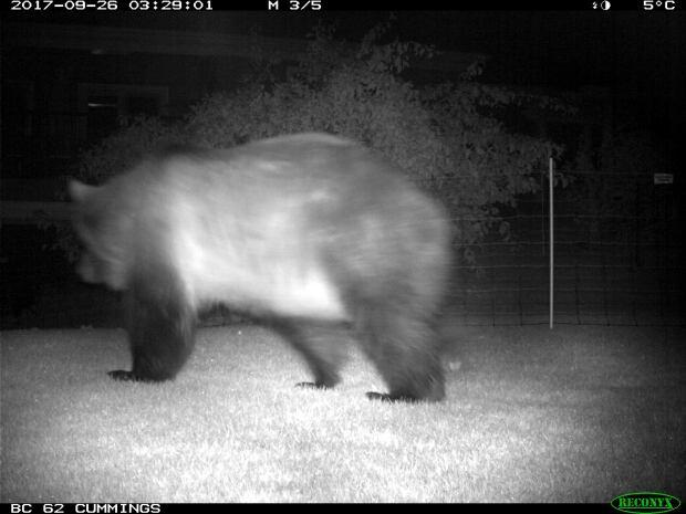 Grizzly bear Calgary