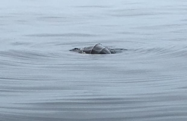 Sea turtle back in distance off Naufrage PEI