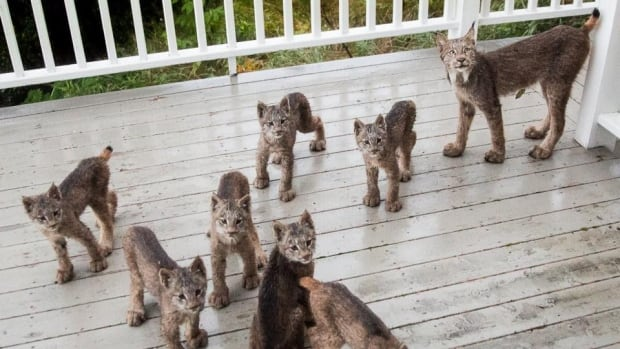 Lynx kittens and their mother look at Tim Newton who says his SLR camera's shutter noises piqued their curiosity, on Sept. 19.