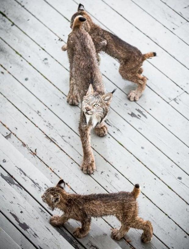 lynx kitten alaska photogrpaher
