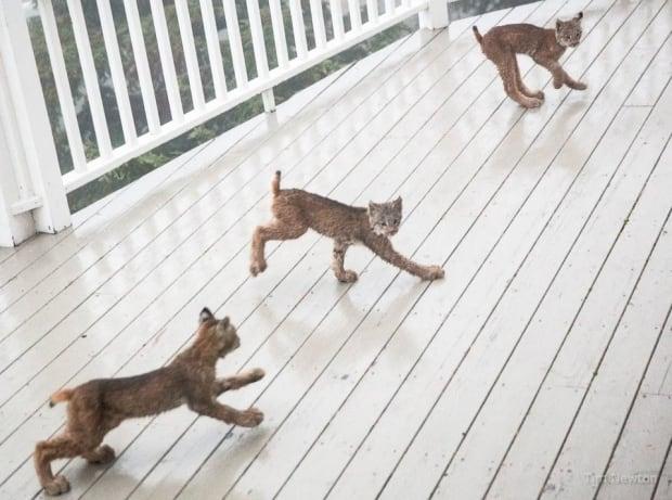 lynx kittens alaska photographer