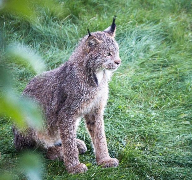 lynx kitten alaska photographer