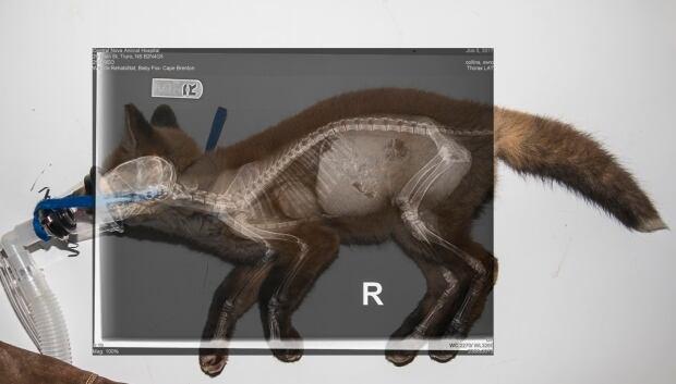 Red fox hit by a car