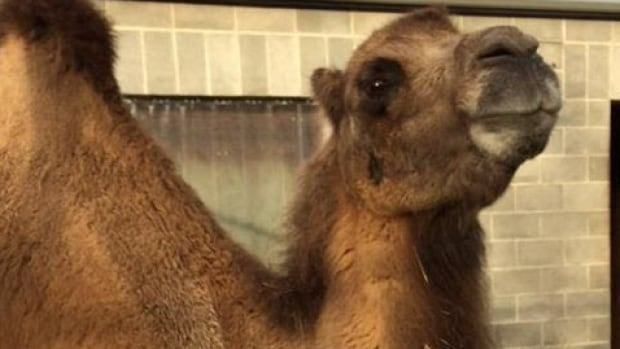 Perry the camel, 23, had to be put down at the Assiniboine Park Zoo due to age-related conditions.