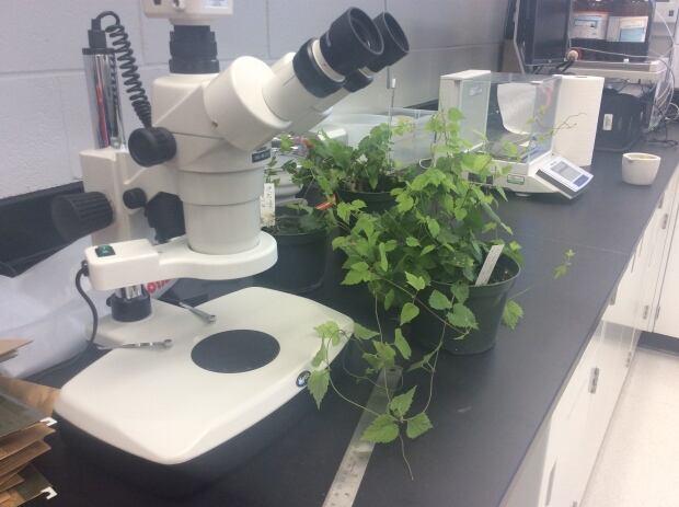 PEI hops plants