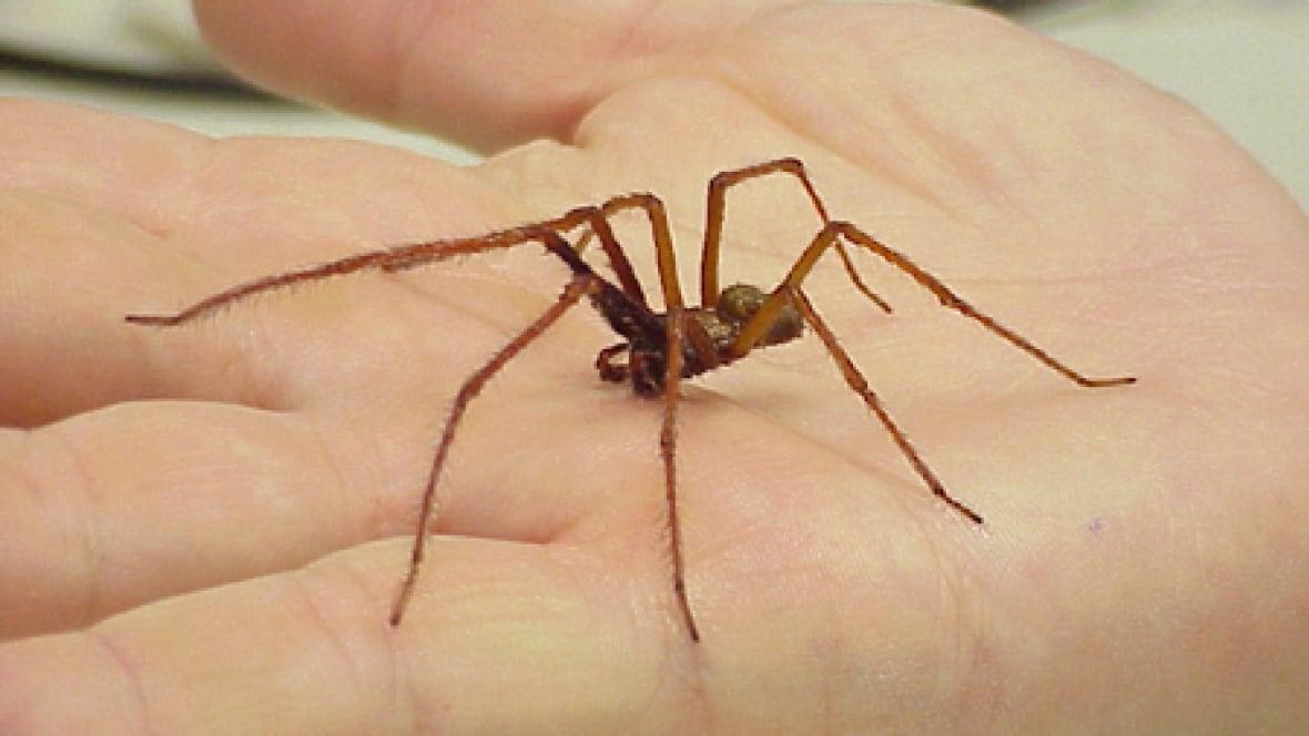 Spiders Of Cape Cod Part - 30: U0027I Was Afraid To Go To Bed At Nightu0027: Giant Spiders Invade Cape Breton  Homes - Nova Scotia - CBC News