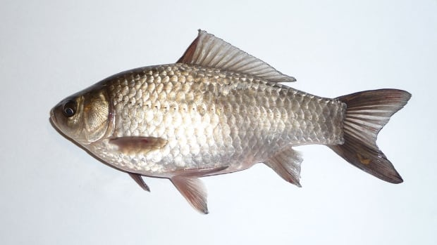 Prussian carp, native to Europe and Asia, were first detected in Alberta the early 2000s and have since spawned in waterways across the province.