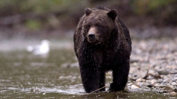 Two hunters were attacked by grizzlies in the last week.