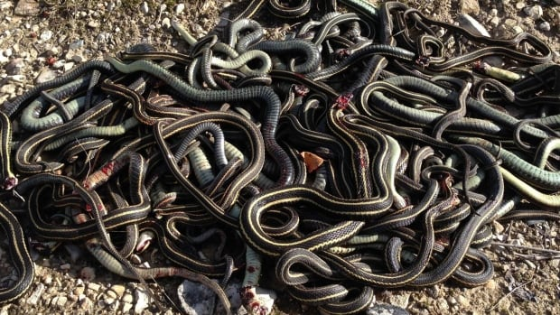 Neil Balchan gathered up about 50 garter snakes that he found slaughtered Thursday morning.
