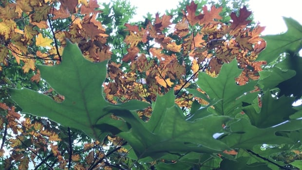If the leaves start to die before the tree can extract nutrients from them, in case of a sudden frost for example, then they simply turn brown, a forestry expert says.