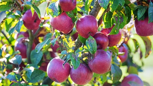UBC UBC apple orchard