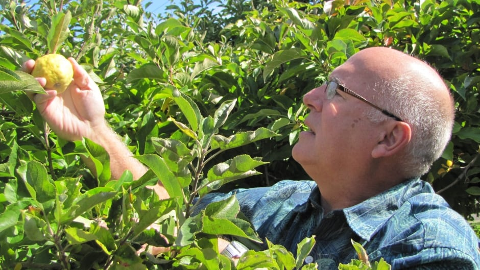 David Benscoter inspects for lost apples at a heritage orchard in the Seattle area.