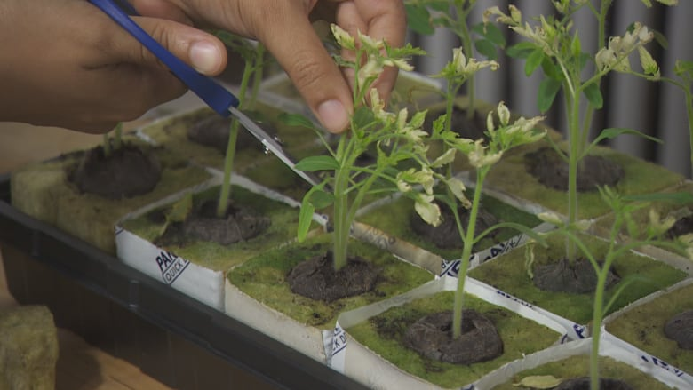 Ganja School teaches you everything you wanted to know about growing pot