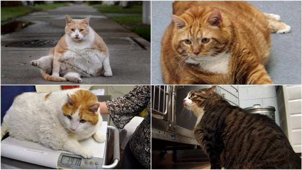 Denying Obesity in Cats