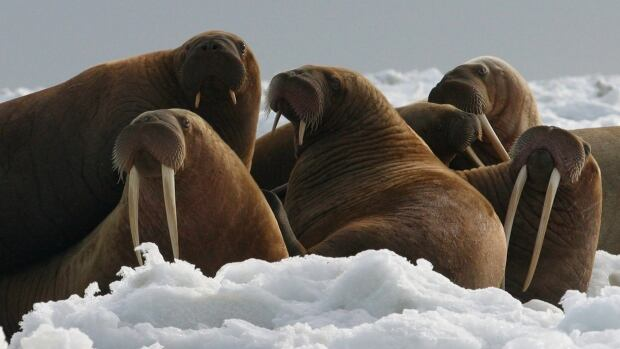 The Trump administration will not add Pacific walrus to the threatened species list. The U.S. Fish and Wildlife Service announced earlier this month that it can't say with certainty that walrus are likely to become endangered despite an extensive loss of Arctic sea ice due to global warming.