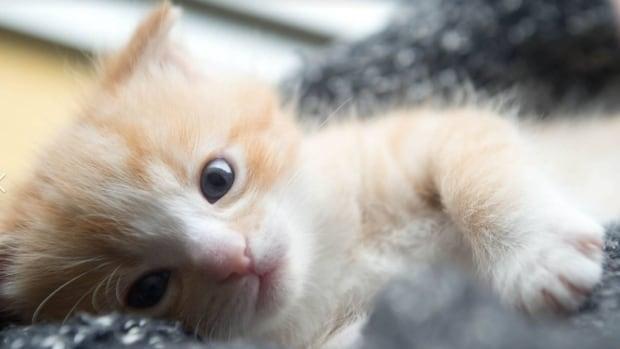 The Edmonton Humane Society's 100 Kitten Challenge is this Saturday.