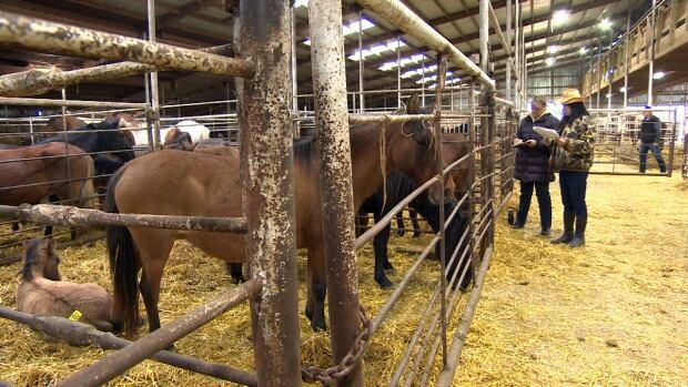 Ojibway ponies