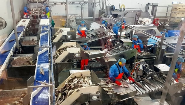 Iceland fish processing