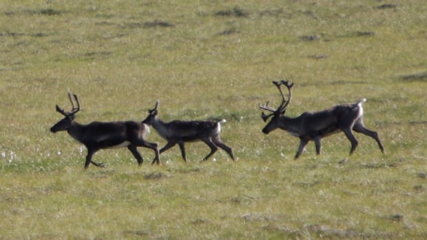 Migrating caribou in the Porcupine River Tundra in the Yukon. A 40-year-old controversy about drilling for oil in an Alaskan wildlife refuge has resurfaced this month, prompting a northern First Nation to ask Prime Minister Justin Trudeau to intervene.