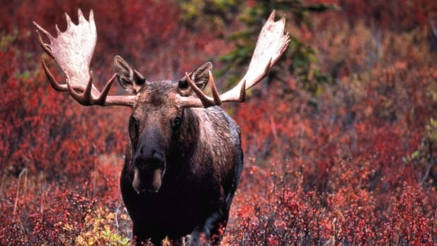 Provincial moose population estimates, completed in January 2017, show moose continue to decline by approximately 30 per cent in B.C.'s Cariboo region, says Chief Roy Stump.