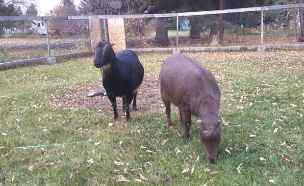 Friske goats Saskatchewan