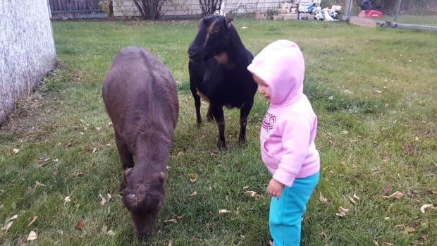 The Friske family purchased their two goats, Abby and Azur, from a breeder near Regina in 2015.