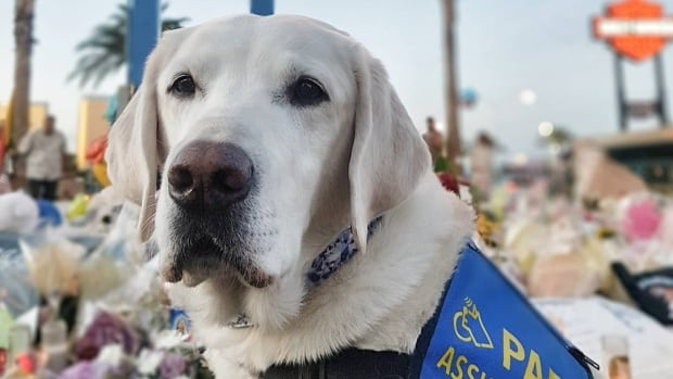 Caber is an accredited facility dog and was the first in Canada to work as a trauma K9 for victim services.