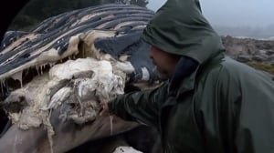 Ship strike likely killed humpback whale found on B.C. shore, biologist says