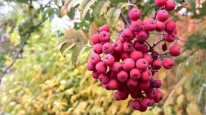 Mountain ash berries and the Fall colours in Nelson