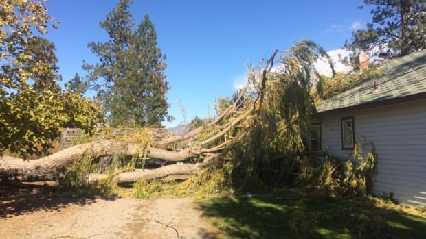 Strong winds uprooted this willow tree in Summerland, B.C., on Tuesday.